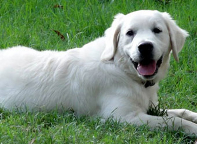 English Retriever Puppy by Golden Miracles English Cream Retrievers and American Golden Retrievers in Mississippi