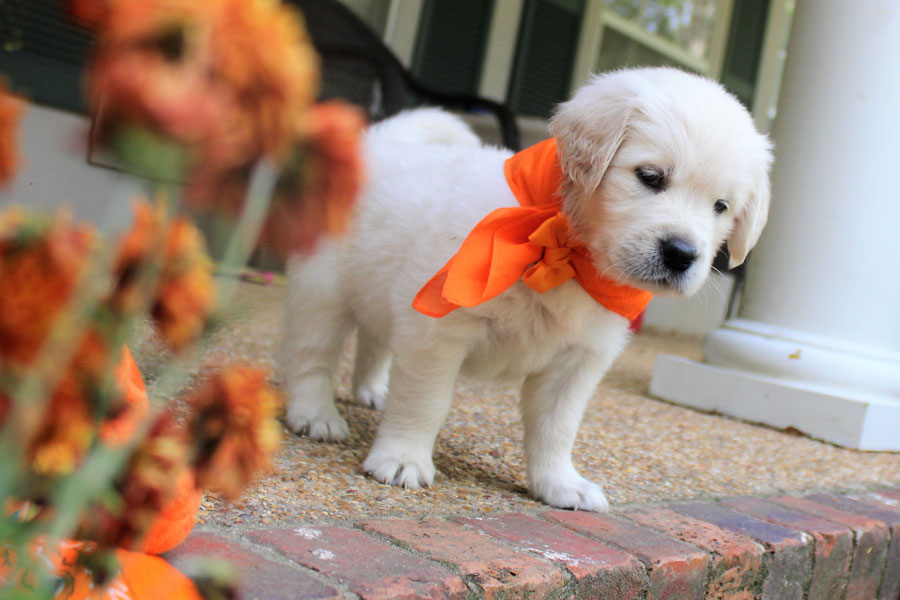 English Retriever Puppies