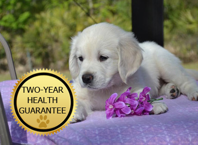 We ship English Retriever Puppies