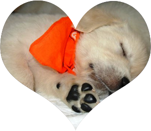 Golden Retriever Puppies for Loving Homes
