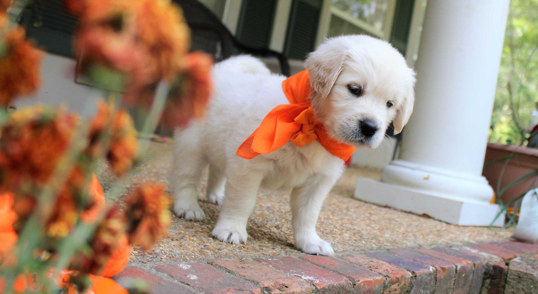 english retriever puppies in Mississippi