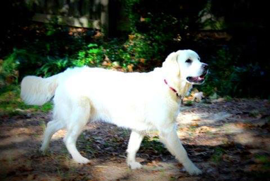 English Cream Retriever from Golden Miracles in Mississippi