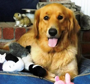 Miracle of Golden Miracles Golden Retrievers in Mississippi