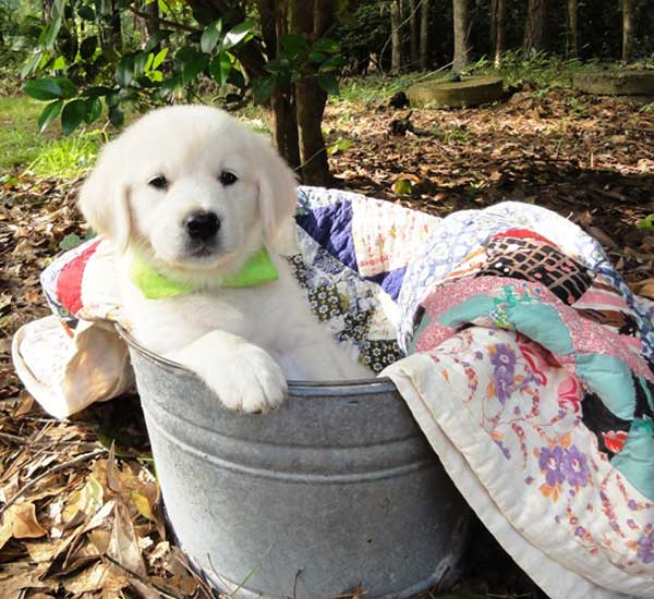 Buying An English Golden Retriever Puppy From Golden Miracles In
